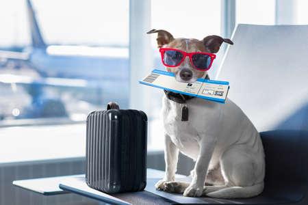 Prise de vacances de vacances chien russell attente dans terminal de l'aéroport prêt à monter à bord de l'avion ou un avion à la porte, bagages ou un sac sur le côté Banque d'images - 83885429