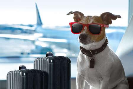 Prise de vacances de vacances chien russell attente dans terminal de l'aéroport prêt à monter à bord de l'avion ou un avion à la porte, bagages ou un sac sur le côté Banque d'images - 83885431