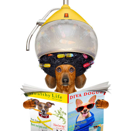 hairdresser: dachshund or sausage  dog  at the hairdresser with hair under the drying hood with curlers, isolated on white background  reading a  newspaper or magazine