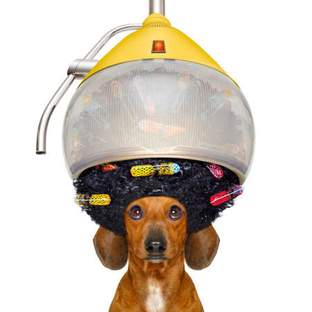 dachshund or sausage  dog  at the hairdresser with hair under the drying hood with curlers, isolated on white background