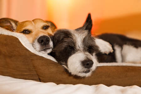 couple of dogs in love close and cozy together sleeping and relaxinf on bed cuddeling in embrace ( low light photo) Archivio Fotografico