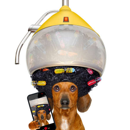 mode: dachshund or sausage  dog  at the hairdresser with hair under the drying hood with curlers, isolated on white background taking a selfie with smartphone or cell phone