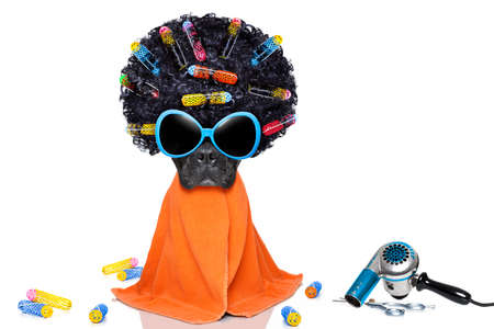 mode: french bulldog dog  with hair rulers  afro curly wig  hair at the hairdresser with orange  towel , isolated on white background