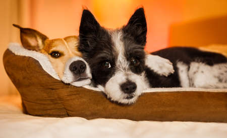 couple of dogs in love close and cozy together sleeping and relaxinf on bed cuddeling in embrace( low light photo)