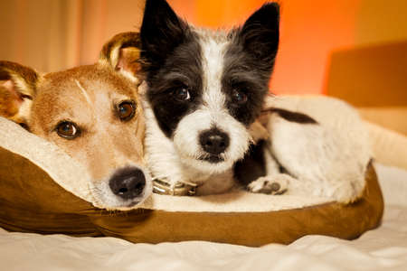 doze: couple of dogs in love close and cozy together sleeping and relaxing on bed cuddling in embrace( low light photo) Stock Photo