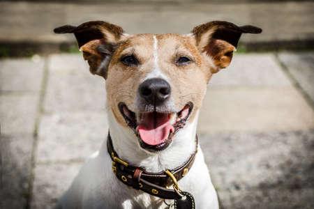 obediencia: Jack russell perro de espera para el propietario para jugar e ir a dar un paseo con correa al aire libre en la puerta Foto de archivo