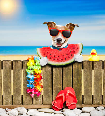 jack russel dog resting and relaxing on a wall or fence at the  beach  ocean shore, on summer vacation holidays, wearing sunglasses eating a watermelon fruit Stock Photo
