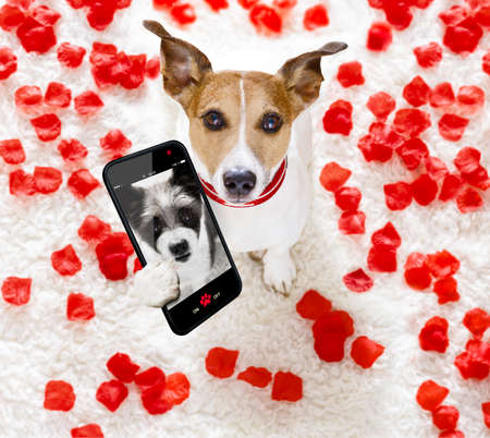Jack russel dog in love for happy valentines day with petals and rose flower , looking up in wide angle, taking a selfie with smartphone or cell phone Stock Photo