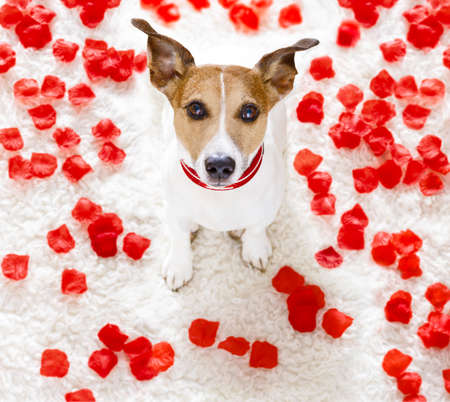 looking for love: jack russel dog in love for happy valentines day with petals and rose flower , looking up in wide angle