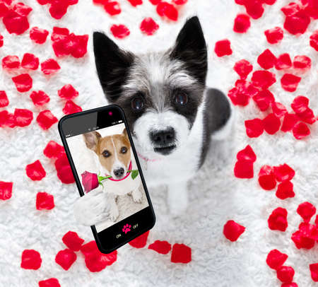 Poodle dog in love for happy valentines day with petals and rose flower , looking up in wide angle, taking a selfie with smartphone or cell phone
