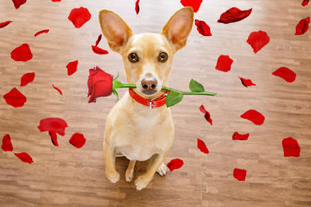 Chihuahua dog in love on valentines day, rose in mouth, with sunglasses and cool gesture,isolated on wood background