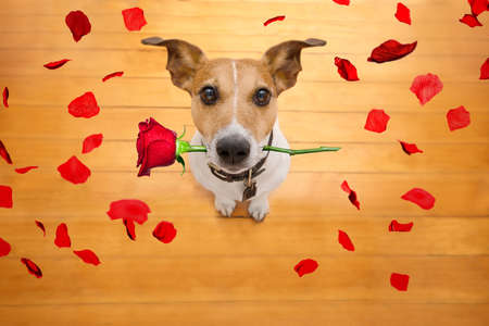 Jack russell dog in love on valentines day, rose in mouth, with sunglasses and cool gesture,isolated on wood background Stock Photo