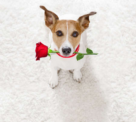 Jack Russel dog in love for happy valentines day with petals and rose flower in mouth  , looking up in wide angle Stockfoto