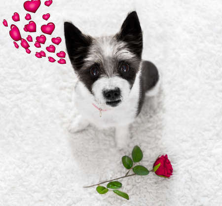 looking for love: poodle dog in love for happy valentines day with petals and rose flower , looking up in wide angle