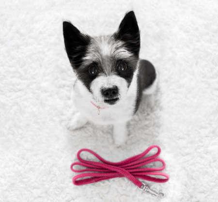 perro de caniche de espera para el propietario para jugar e ir a dar un paseo con correa al aire libre en la puerta Foto de archivo