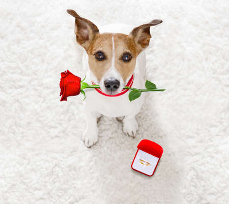 jack russel dog in love , proposing for marriage or wedding to bride with red flower rose in mouth and engagement  gold ring