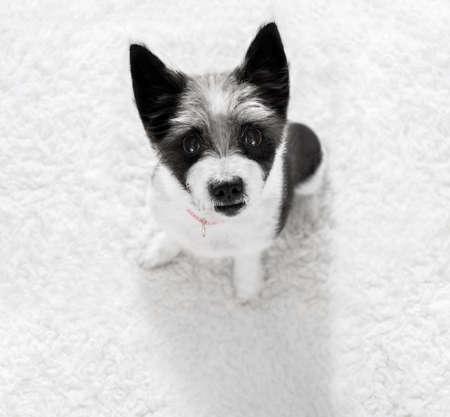 escuchar: Perro de poodle curioso mirando a la espera del propietario o sentado paciente para jugar o ir a dar un paseo, aislado en fondo blanco