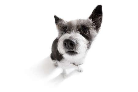 paciencia: Perro de poodle curioso mirando a la espera del propietario o sentado paciente para jugar o ir a dar un paseo, aislado en fondo blanco