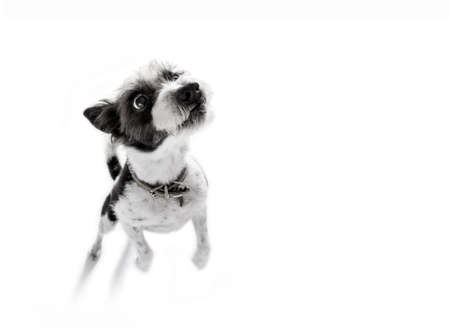 poodle: curious poodle dog catching   ,  patient to play with owner , isolated on white background