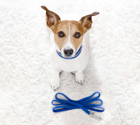 Jack Russell hond wachten op de eigenaar om te spelen en te gaan wandelen met een leiband buitenshuis aan de deur Stockfoto