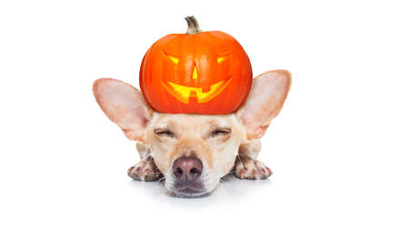 halloween devil dog  scared and frightened, isolated on white background, pumpkin lantern  on the head