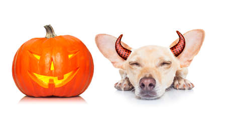 halloween devil dog  scared and frightened, isolated on white background, pumpkin lantern to the side, wearing devil ears