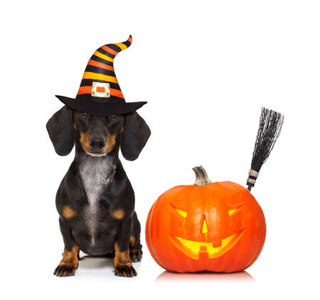 halloween devil sausage dachshund dog  scared and frightened, isolated on white background, pumpkin to the side, wearing a witch hat Imagens