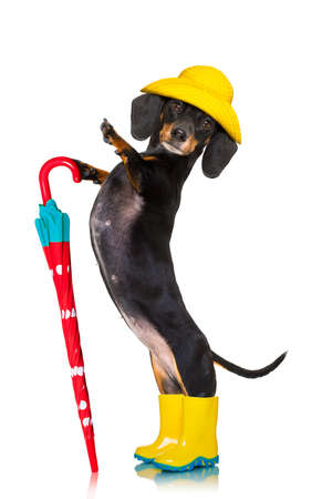 sausage dachshund dog , ready and  prepared for rain or bad weather with rubber boots , hat and umbrella , isolated on white background
