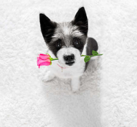 poodle dog in love for happy valentines day with petals and rose flower in mouth  , looking up in wide angle