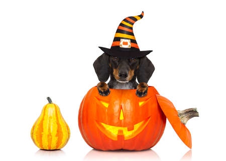 died: halloween devil sausage dachshund dog inside pumpkin, scared and frightened, isolated on white background Stock Photo