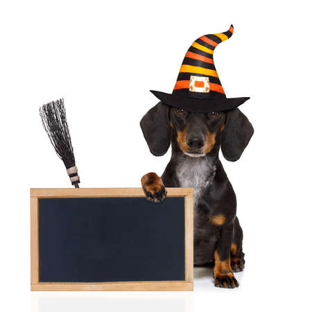 halloween devil sausage dachshund  scared and frightened, isolated on white background, wearing a witch hat, behind white blank banner or blackboard