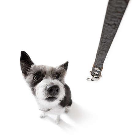 Perro de poodle curioso mirando a la espera del propietario o sentado paciente para jugar o ir a dar un paseo, aislado en fondo blanco Foto de archivo - 85068532