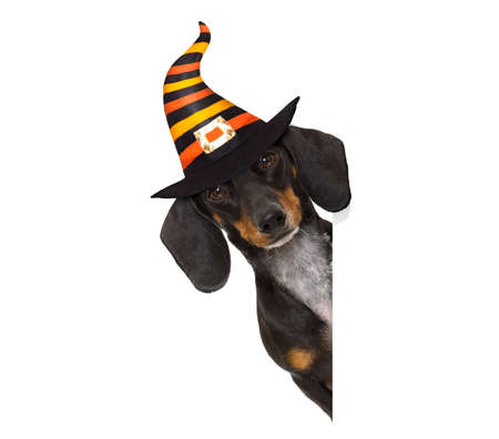 halloween devil sausage dachshund dog  scared and frightened, isolated on white background, wearing a witch hat, behind white blank banner or placard poster
