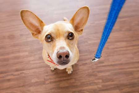 punishing: chihuahua dog waiting for owner to play  and go for a walk with leash  , isolated on wood background, wide angle view Stock Photo