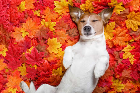 cold: jack russell dog , lying on the ground full of fall autumn leaves, sleeping a siesta and lying on the back torso