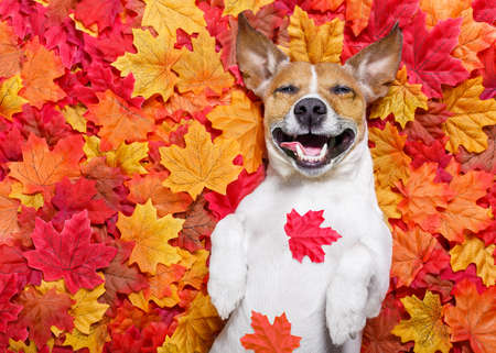 jack russell dog , lying on the ground full of fall autumn leaves,laughing out loud  lying on the back torso Archivio Fotografico