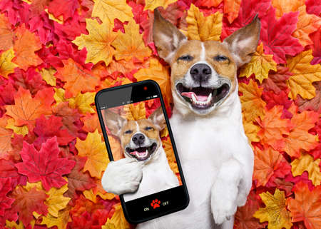 jack russell dog , lying on the ground full of fall autumn leaves, lying on the back torso and taking  a selfie with smartphone mobile phone Imagens - 85209825