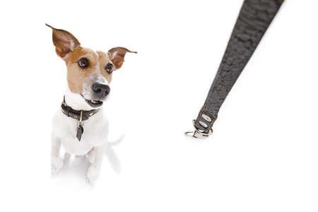 Jack Russell perro que espera para el dueño de jugar y salir a pasear con correa Foto de archivo