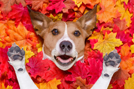 yellow: jack russell dog , lying on the ground full of fall autumn leaves,  surprised or shocked, with fear in his eyes, lying on the back torso Stock Photo