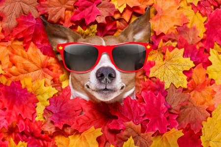 jack russell dog , lying on the ground full of fall autumn leaves, looking at you  and lying on the back torso, wearing funny sunglasses Stock Photo