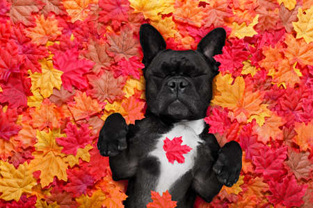 french bulldog dog , lying on the ground full of fall autumn leaves, sleeping a siesta and lying on the back torso