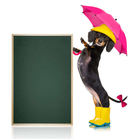 sausage dachshund dog , ready and  prepared for rain or bad weather with rubber boots , hat and umbrella , isolated on white background, blackboard or banner placard to the side