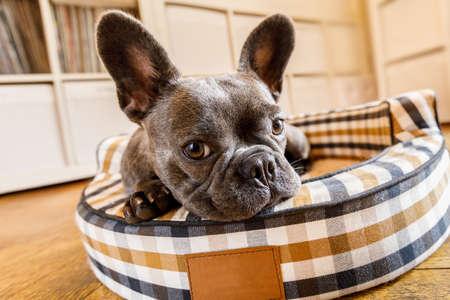cane bulldog francese rilassarsi in salotto o sognare ad occhi aperti nel letto di animale, pensando alla vita