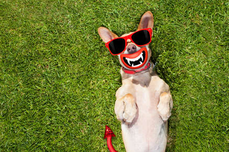 chihuahua dog ghost for halloween ,  scary and spooky lying on the back on a meadow grass at the park Stock Photo