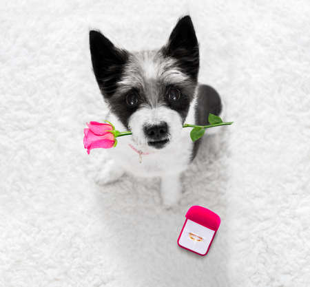 poodle dog in love , proposing for marriage or wedding to groom  with pink  flower rose in mouth and engagement  gold ring