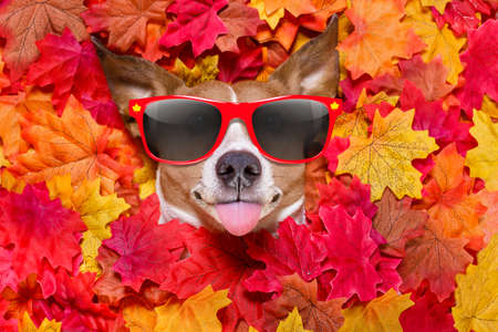 jack russell dog , lying on the ground full of fall autumn leaves, looking at you  and lying on the back torso, wearing funny sunglasses, sticking out the tongue
