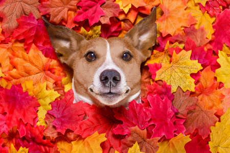 jack russell dog , lying on the ground full of fall autumn leaves, looking at you  and lying on the back torso Stock Photo