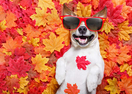 funny glasses: jack russell dog , lying on the ground full of fall autumn leaves, sleeping and lying on the back torso, wearing funny sunglasses
