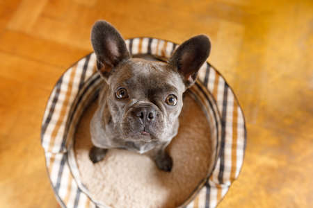 curious french bulldog dog looking up to owner waiting or sitting patient to play or go for a walk, at home Stock Photo