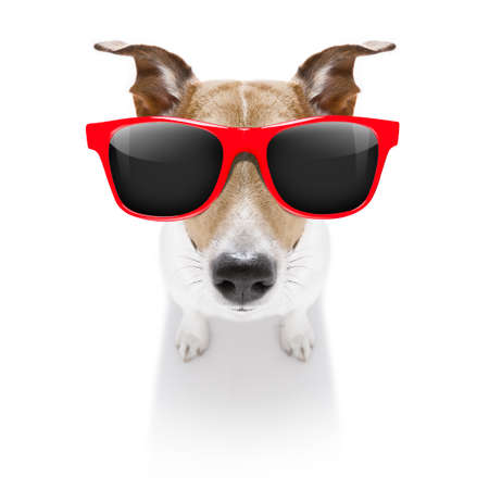 curious jack russell dog looking up to owner waiting or sitting patient to play or go for a walk,  isolated on white background, wearing sunglasses Stock Photo
